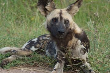 licaone animale selvaggio parco del kruger sudafrica