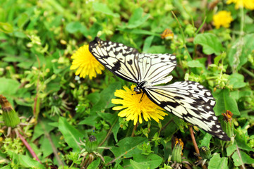 Beautiful butterfly sitting on dandelion flower, outdoors