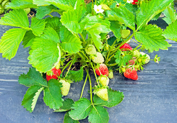 Strawberries ripening in a strawberry plant