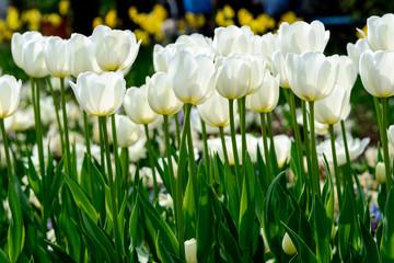 Frühling - weiße Tulpen