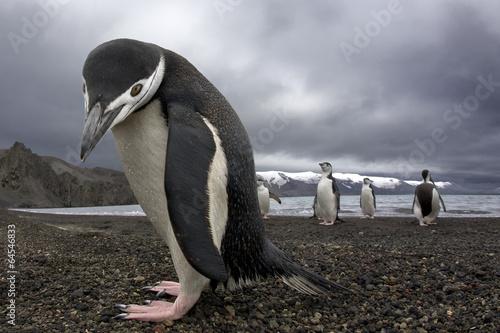 Foto op Aluminium Pinguin Antarctiic penguin