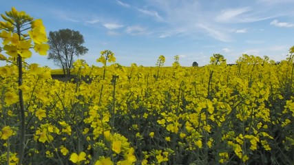 Oil seed rape field against blue sky and tree in background