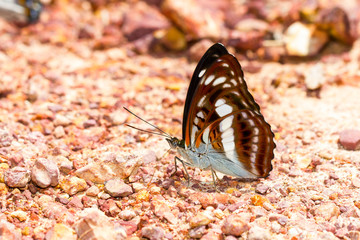 Brown and white the commander butterfly