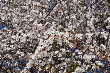 Cherry blossoming (Prunus subgen. Cerasus), background