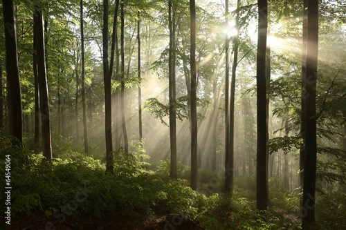 Fototapeta Spring beech forest after a few days of rain in a foggy morning