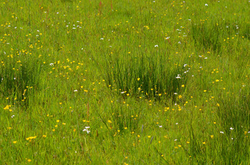Meadow with soft rush and ranunculus