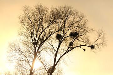 Baum mit Misteln im Gegenlicht