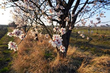 Blühender Mandelbaum im Frühling