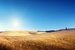 field of barley in Tuscany, Italy
