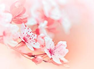 Soft focus on flowering branch - blooming tree