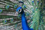Peacock, Retiro Park, Madrid (Spain) - 64554402