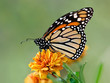 Постер, плакат: Monarch butterfly on garden flowers during autumn migration