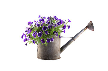 Zinc watering can with purple petunias