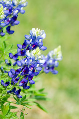 Texas Bluebonnets (Lupinus texensis) blooming in spring, closeup