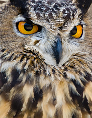 Great Horned Owl (Bubo virginianus), aka Tiger Owl, closeup