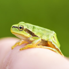 San Antonio Frog (Hyla arborea) on the finge. European Tree Frog