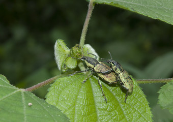 Black beetle pair mating on leaf