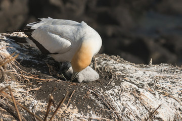 Northern Gannet checking chick