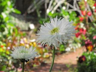 flor margarita de paramo