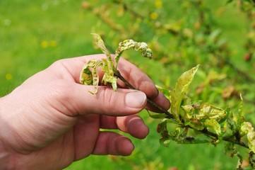 Kräuselkrankheit  - Leaf curl 06