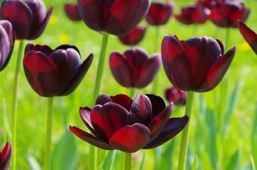 Tulpe Queen of Night - tulip Queen of Night 01