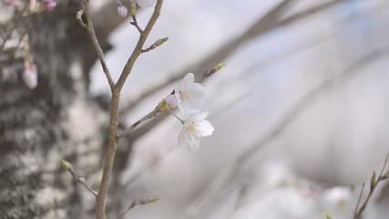 Cherry blossoms,in Showa Kinen Park,Tokyo,Japan