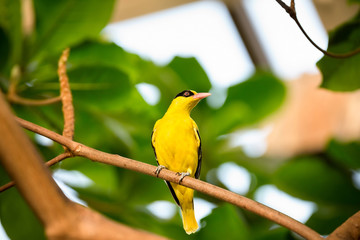 yellow  canary on branch