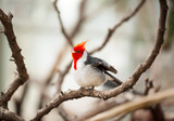 Red-crested Cardinal Kanvas Tablo