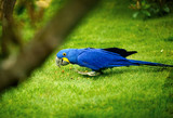 Blue Parrot Kanvas Tablo