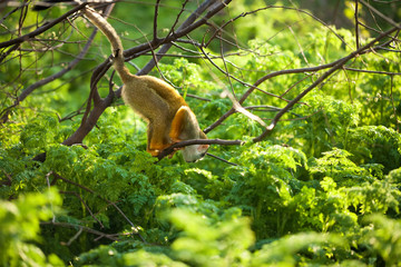Funny young squirrel monkey