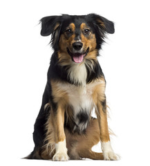 Border Collie sitting and panting (2 years old)
