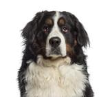 Portret bernardyna - 64562828
