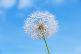 One dandelion on sky background - 64564434