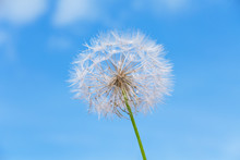 One dandelion on sky background