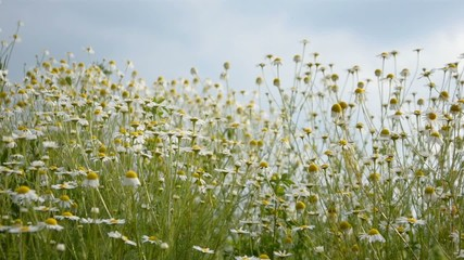 Chamomile field on a wind-free day and bees feeding.