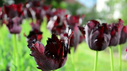 Black parrot tulips swaying in the wind.-shallow DOF