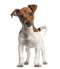 Jack Russell Terrier puppy standing up (3 months old)