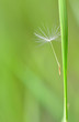 single part dandelion flower