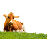 Fototapety Cow on grass