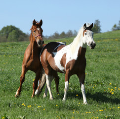 Gorgeous western horses on pasturage