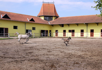 Lipizzaner horse and foal running in corral