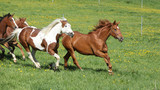 Batch of beautiful horses running on pasturage - 64568687
