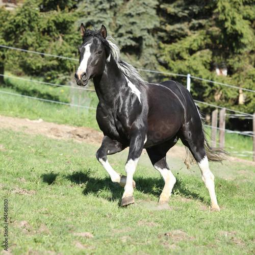 fototapeta na ścianę Niesamowity ogier koń z długim farba grzywą