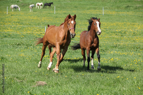 Batch of beautiful horses running on pasturage © zuzule