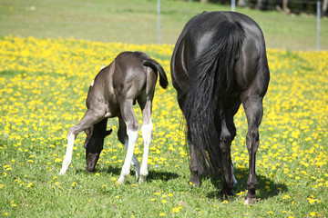 Beautiful mare with little foal on spring pasturage