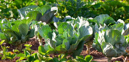 young cabbage growing in the farm land