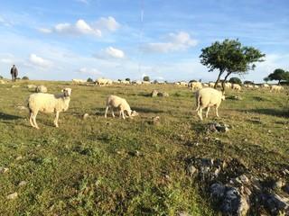 Çoban ve Koyunları