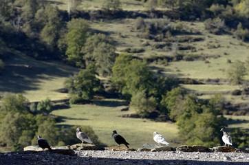 palomas en la Alpujarra, Granada