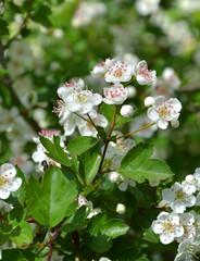 Blüten vom Weißdorn