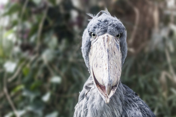 Shoebill - Balaeniceps Rex - Bird Photo